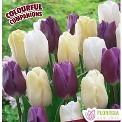 Tulipe Twilight Time (paquet de 15 bulbes)