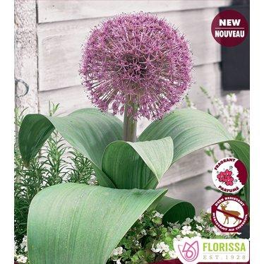 Allium Red Giant (paquet de 3 bulbes)