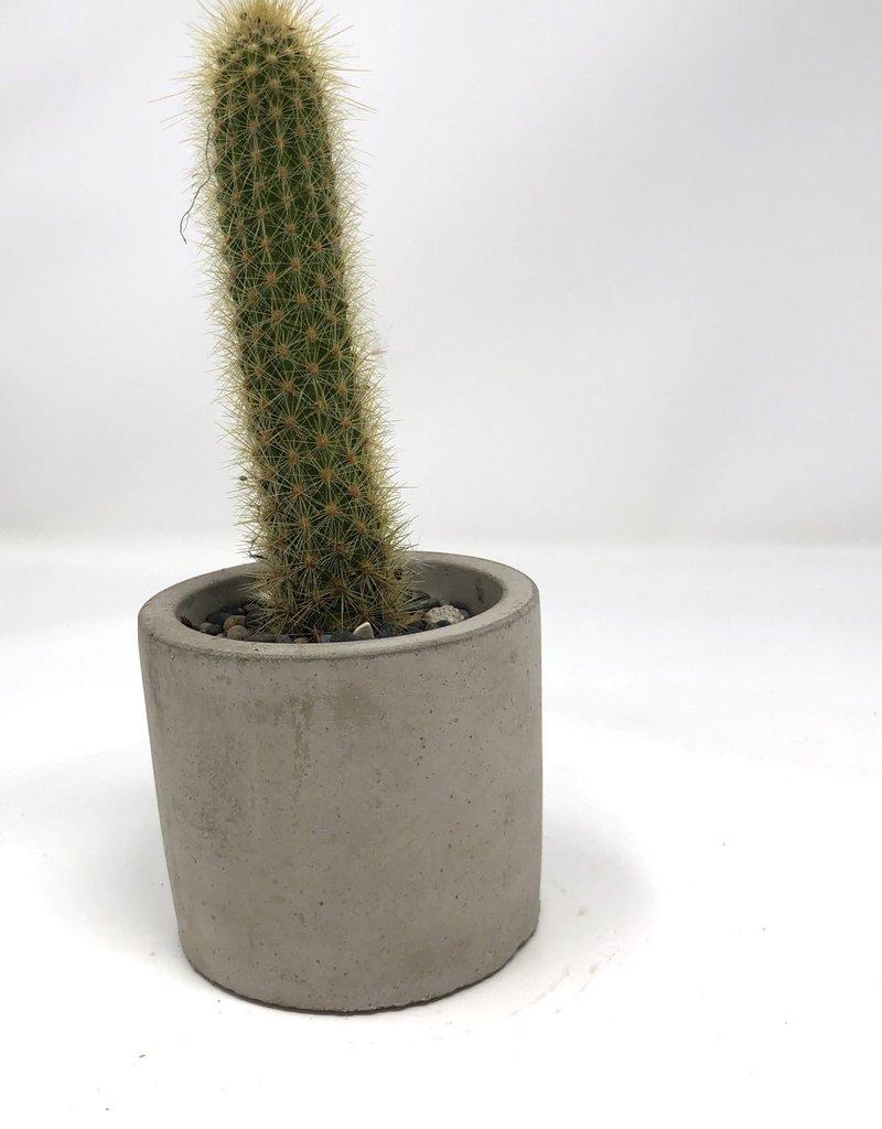 Mini cacti in concrete planter