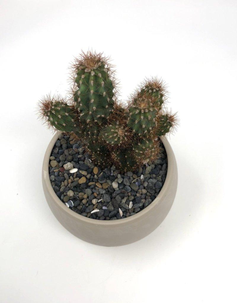 cactus in round bowl
