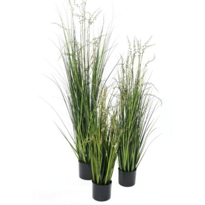 ONION GRASS, 4'