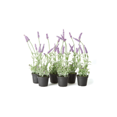 Napa FRENCH LAVENDER, DROP-IN, 13""