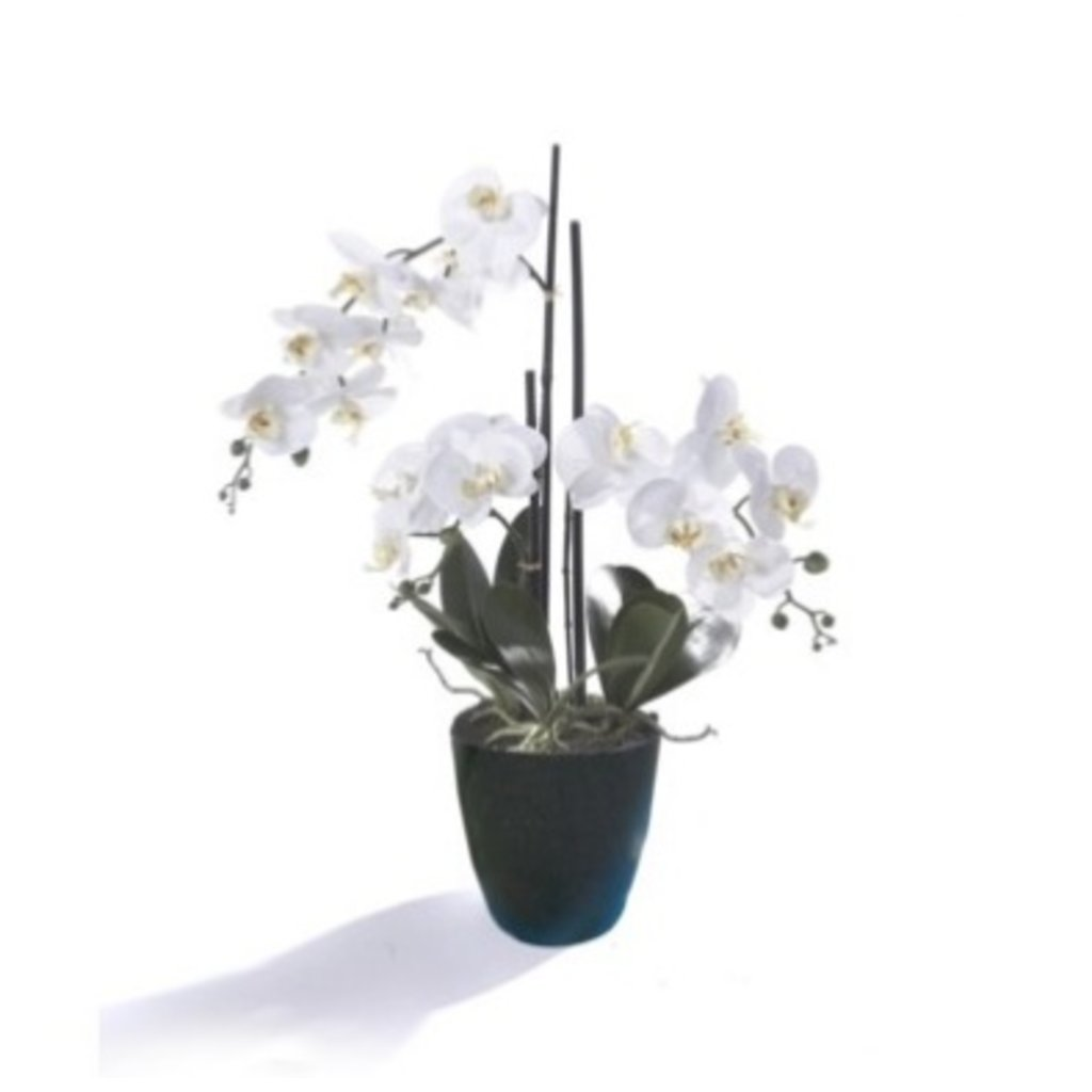 PHALAENOPSIS ORCHID, WHITE W/ BLACK POT