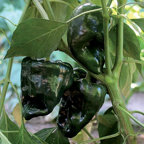 Pepper, Ancho Gigantea