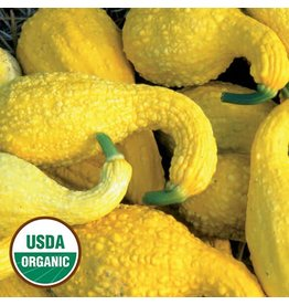 Seed Saver's Exchange Squash, Summer Crookneck