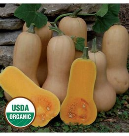 Seed Saver's Exchange Squash, Waltham Butternut