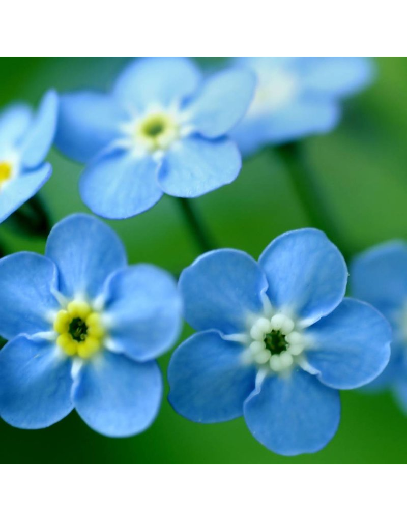 Garden Sprinkles -Forget-me-not