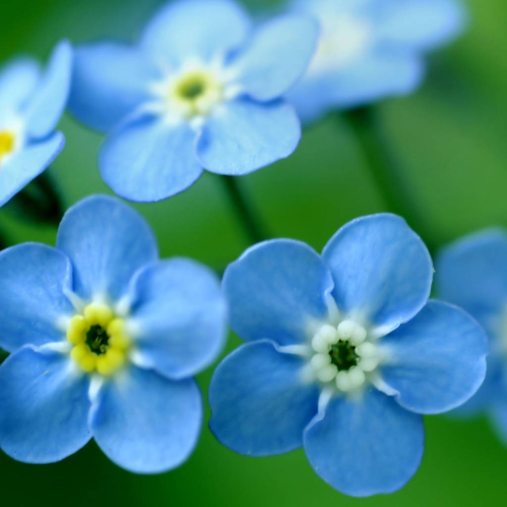 Garden Sprinkles -Forget-me-not