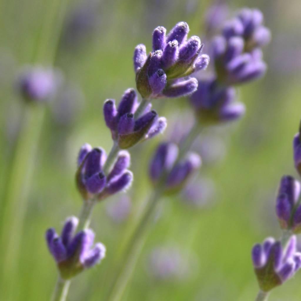 Garden Sprinkles - Lavender