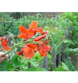 Baker Creek Seeds Bean, Scarlet Runner