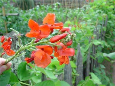 Baker Creek Seeds Bean, Scarlet Runner