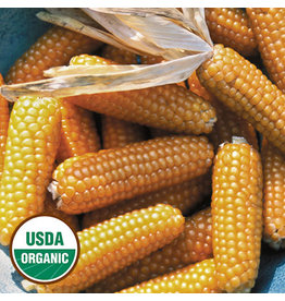 Seed Saver's Exchange Corn, Tom Thumb Popcorn Corn