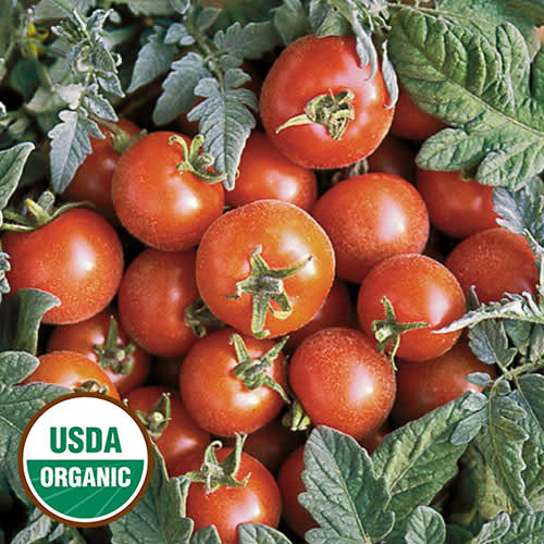 Seed Saver's Exchange Tomato, Velvet Red