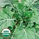 Seed Saver's Exchange Collard - Ellen Felton Dark