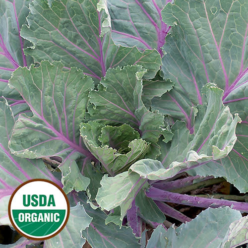 Seed Saver's Exchange Collard - Old Timey Blue