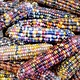 Seed Saver's Exchange Corn, Glass Gem