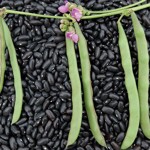 Seed Saver's Exchange Bean - Cherokee Trail of Tears