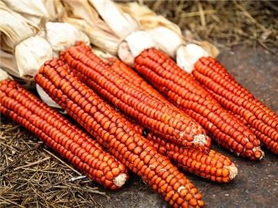 Baker Creek Seeds Corn - Atomic Orange