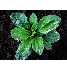 Baker Creek Seeds Plantain, Variegated