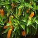 Baker Creek Seeds Pepper - Datil