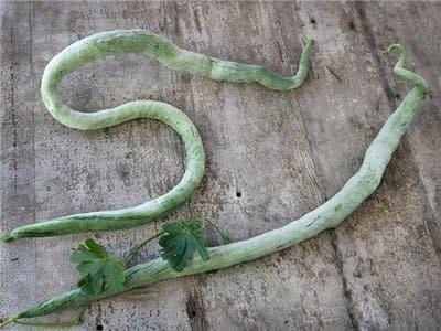 Baker Creek Seeds Snake Bean - Chinese Python