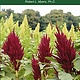 Amaranth - An Ancient Grain and Exceptionally Nutritious Food