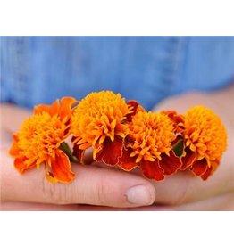 Baker Creek Seeds Marigold, Orange Flame