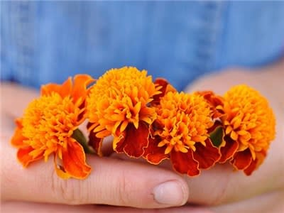 Marigold - Orange Flame