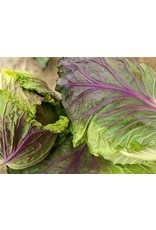 Baker Creek Seeds Cabbage, Violaceo di Verona