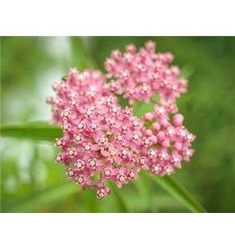 Baker Creek Seeds Milkweed - Red or Swamp