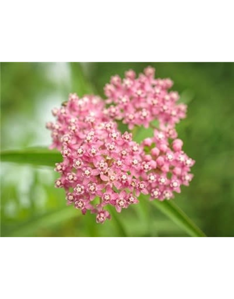 Baker Creek Seeds Milkweed, Red or Swamp