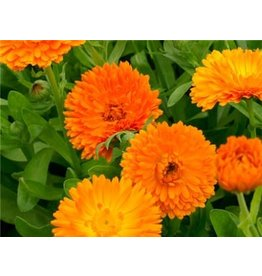 Baker Creek Seeds Calendula, Orange King