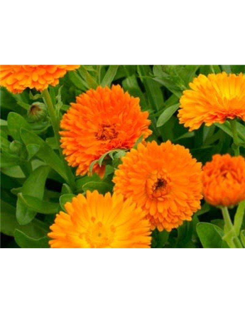 Baker Creek Seeds Calendula, Orange King