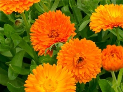 Baker Creek Seeds Calendula - Orange King