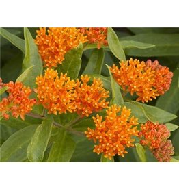 Baker Creek Seeds Milkweed, Butterfly Weed