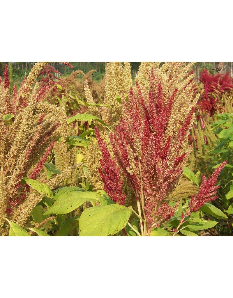 ECHO Seed Bank Grain Amaranth, Manna