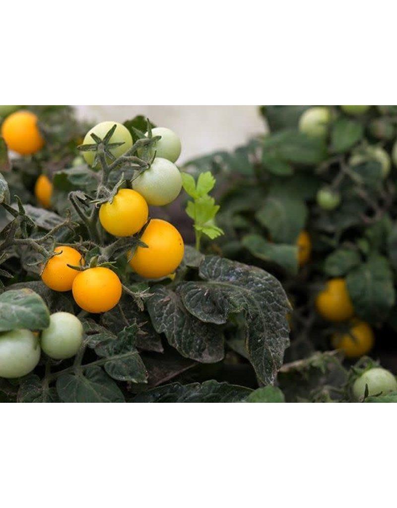 Baker Creek Seeds Tomato, Orange Hat