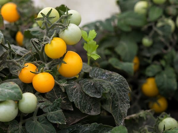 Tomato - Orange Hat