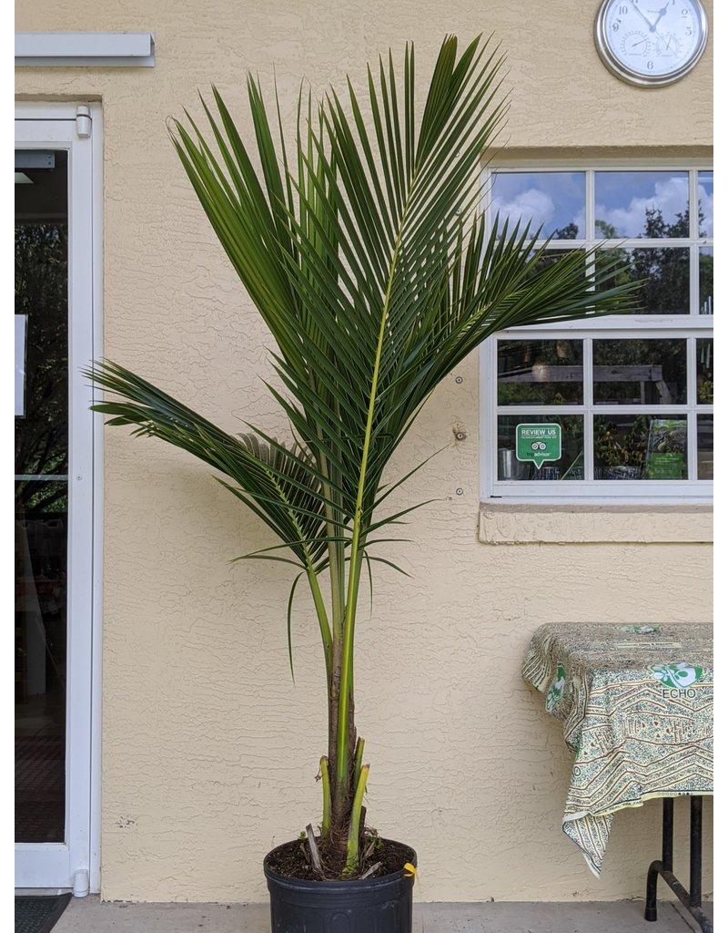 Coconut - Malayan Green Dwarf - 7 Gallon
