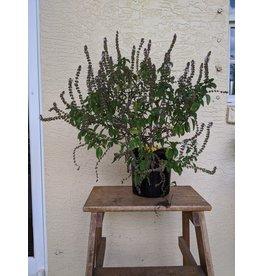 African Tree Basil