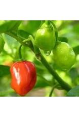 Pepper, Sweet Habanero