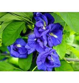 Thai Double Blue Butterfly Pea