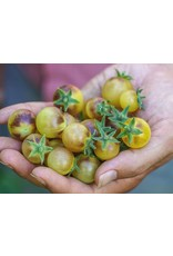 Baker Creek Seeds Tomato, Blue Cream Berrries