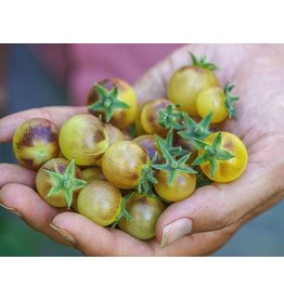 Baker Creek Seeds Tomato, Blue Cream Berrries