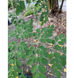 ECHO Seed Bank Moringa - Seed Packet