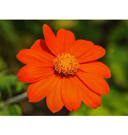 Baker Creek Seeds Mexican Sunflower, Red Torch