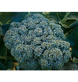 Baker Creek Seeds Broccoli, Calabrese