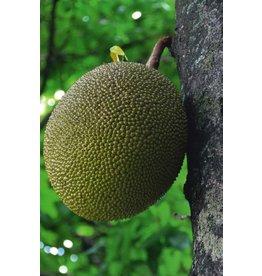 Jackfruit Journal