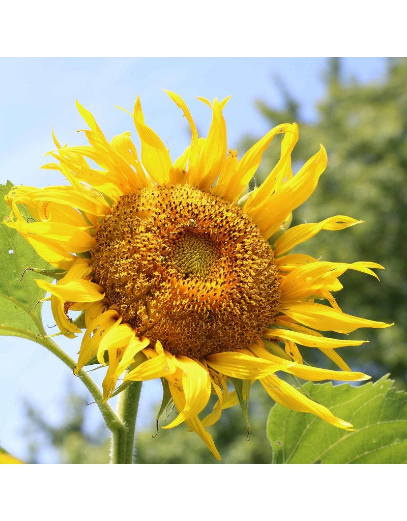 Seed Saver's Exchange Sunflower, Rostov