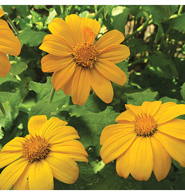 Seed Saver's Exchange Mexican Sunflower, Aztec Sun